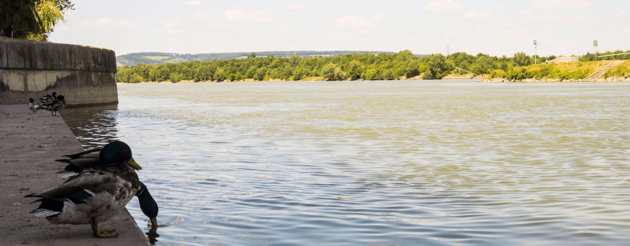 Enten am Donauufer (Copyright: Sarah Vierthaler)