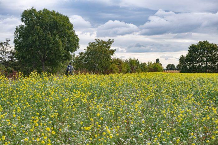 gelb blühende Wiese im Regionalpark DreiAnger, © Stadt Wien/Gerd Götzenbrucker