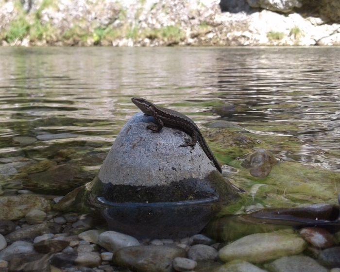 Eidechse auf einem Stein im Fluss Schwarza