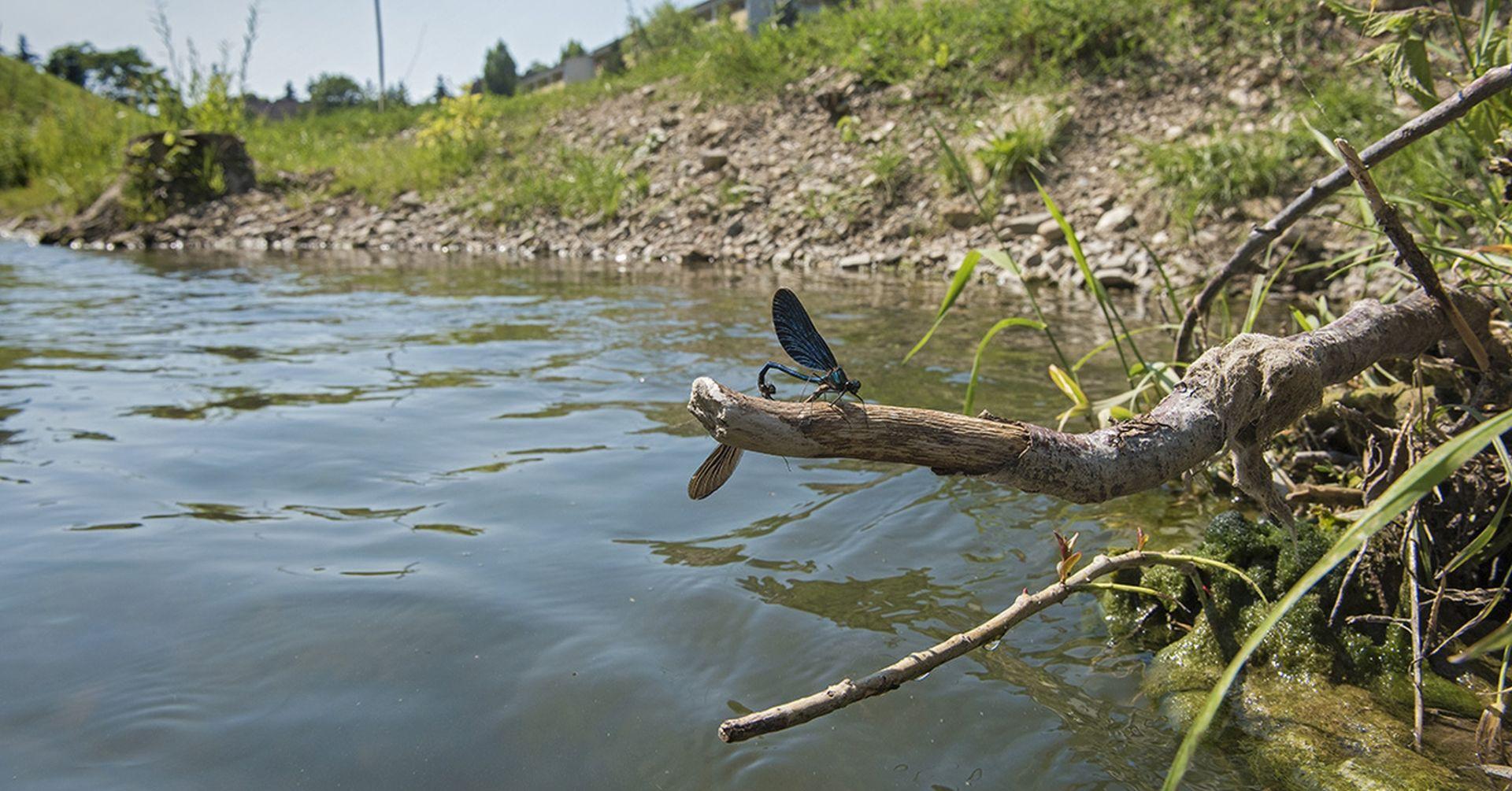 Libelle sitzt auf einem Ast beim Liesingbach